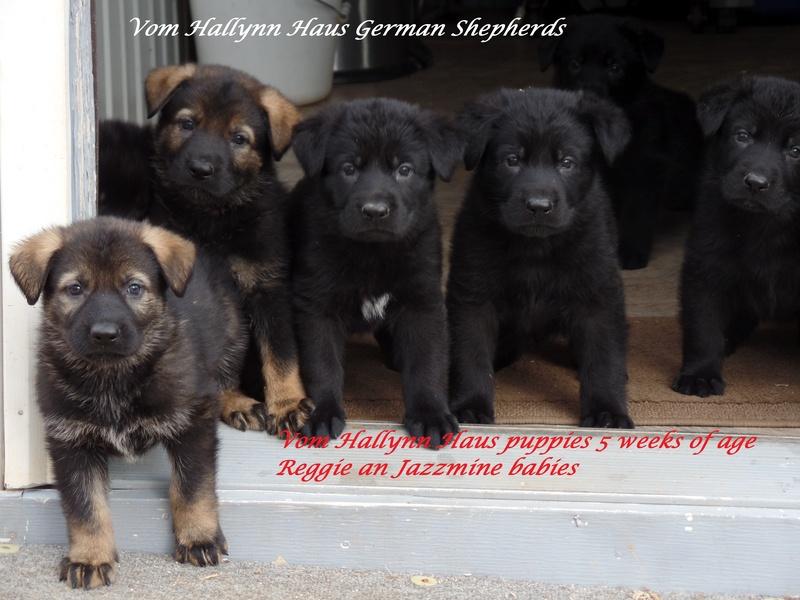 Vom Hallynn Haus German Shepherdsbreeders Of Solid Blacks